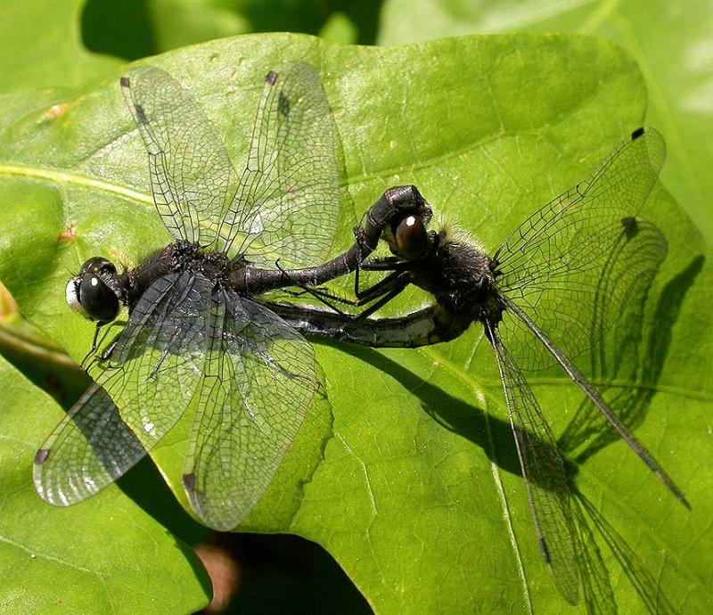 Dot-tailed Whiteface  -- mating pair