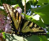 Tiger Swallowtail - Osgoode Township