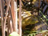 Bull frog -- female