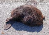 dead Beaver