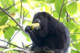 0927 black howler monkey 3 - baboon santuary.jpg