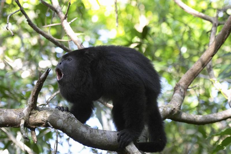 0921 black howler monkey 2 - baboon santuary.jpg