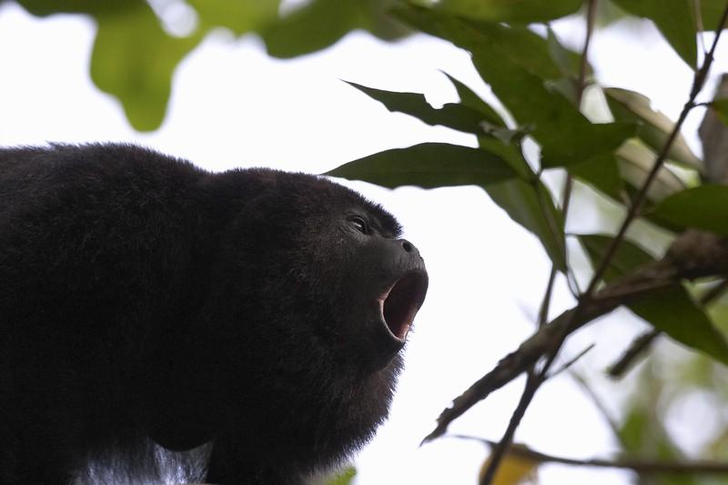 0932 black howler monkey 4 - baboon santuary.jpg