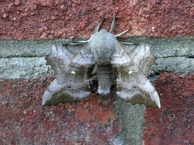 Moth straight on