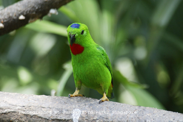 Blue-crown Hanging Parrot Male
