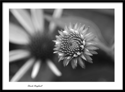 Purple Cone Flower bud BW.jpg