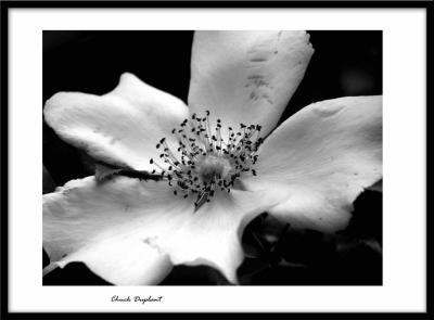 Cherokee Rose BW.jpg