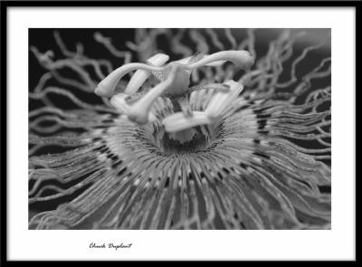 Passion Flower BW.jpg