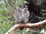 Great-Horned Owl (Digiscoped),Andes Mtns