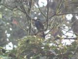 Plate-billed Mtn Toucan (Digiscoped), Tandayapa Valley
