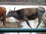 Spotted bull.JPG