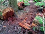 Sawed logs on South Tiger