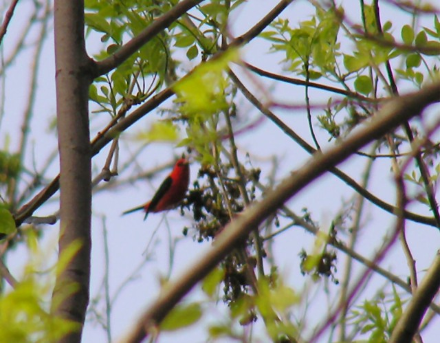 Scarlet Tanager high up in the tree