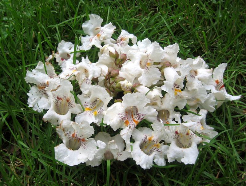 Fallen Catalpa Blossoms