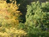 Locust and Pagoda Tree Foliage