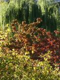 Willow, Dogwood & Crab Apple Tree Foliage