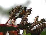 Rufous-bellied Euphonia