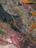 Pair of White-Banded cleaner shrimps