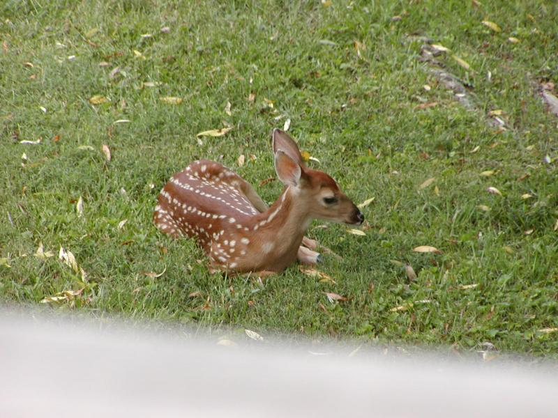 No. 2 Fawn in back yard
