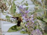 Hummingbird Hemaris Thysbe