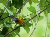 prothonotary warbler IMG_8858w.jpg