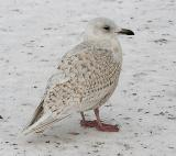 presumed Kumlien's Iceland Gull, 1st cycle