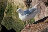 Kumlien's & nominate Iceland Gulls - Newfoundland - page 1