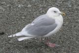 Kumlien's Iceland Gull, basic adult