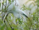 great egret in the willows