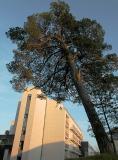 200-year Pine at Spa