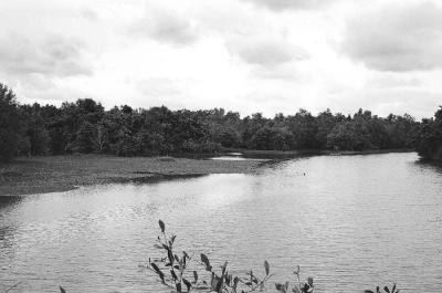 Mangrove Swamp I