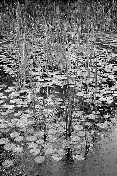 Fresh Water Swamp in the Rain