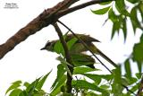 Yellow-vented Bulbul   Scientific name: Pycnonotus goiavier  Habitat: Common in gardens, urban areas and grasslands but not in mature forests.