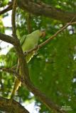 Rose-ringed Parakeet  Scientific name - Psittacula krameri  Habitat - intruduced/escapee (?)