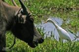 Cattle Egret   Scientific name: Bubulcus ibis   Habitat: Common in pastures, ricefields and marshes.
