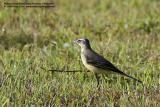 Yellow Wagtail