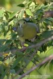 Pink-necked Green-Pigeon (Female)  Scientific name - Treron vernans   Habitat - Uncommon, in lowlands from mangroves, cultivated areas and forests.