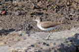 Common Sandpiper   Scientific name - Actitis hypoleucos   Habitat - Common along the shores of wide variety of wetlands.