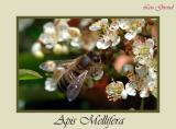Honeybee - June 08-04