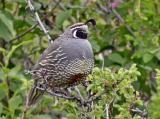California quail Hardy Canyon - Mac - Digiscoped