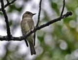western wood pewee front view - Mac