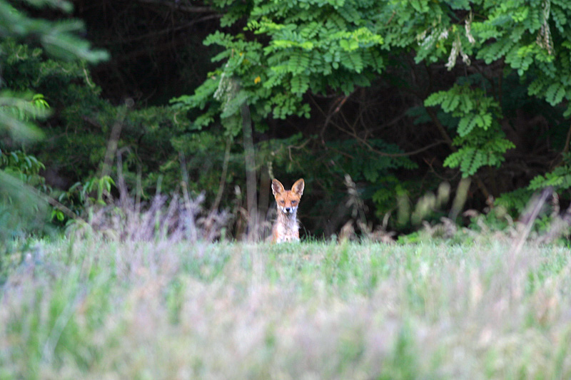 fox_over_rise02.jpg