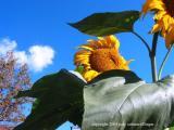 10.23 sunflower