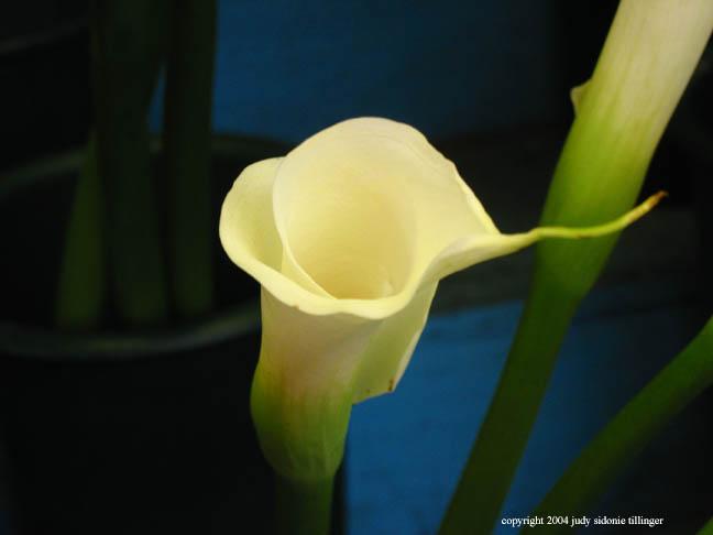 calla lily 16