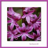 Pink flower, Bernay