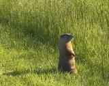 Vigilant Groundhog