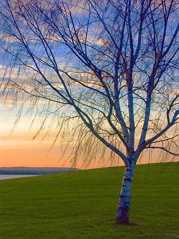 Sunset Birch