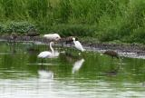 Some limpkins w egrets and ibis