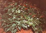 Begonia argenteo guttata.JPG