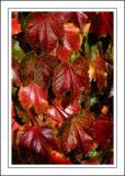 Rusty leaves, Abbotsbury